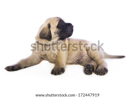 Adorable fawn English Mastiff puppy lying down looking do the side isolated on white background - stock photo
