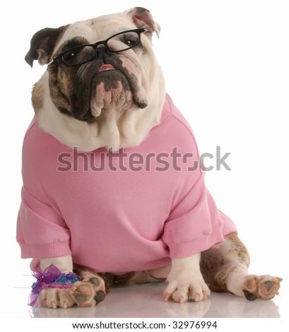 adorable female english bulldog wearing pink sweater and reading glasses - stock photo