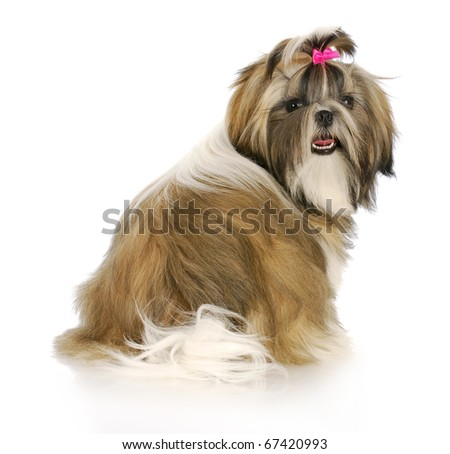 adorable female shih tzu puppy with pink bow in hair with reflection on white background - stock photo
