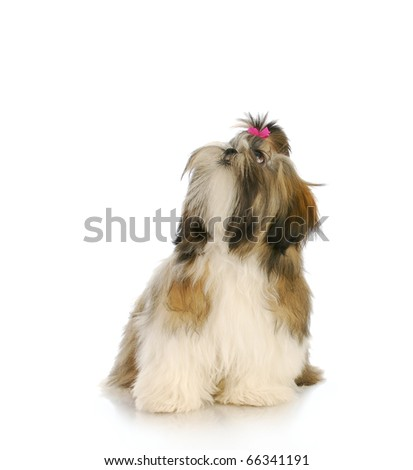 adorable female shih tzu puppy with pink bow looking up with reflection on white background - stock photo