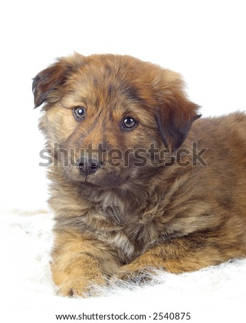 Adorable fluffy pup on a pure white background. - stock photo