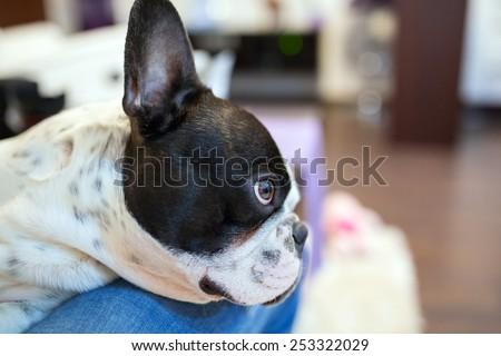 Adorable French bulldog lying on knees - stock photo