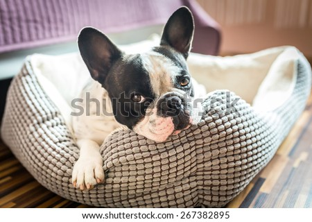 Adorable french bulldog on the lair - stock photo