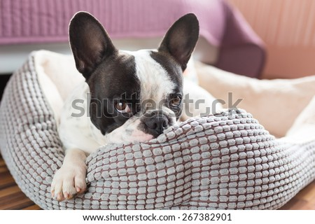 Adorable french bulldog on the lair - stock photo