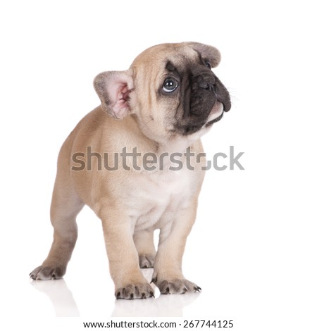 adorable french bulldog puppy looking up - stock photo
