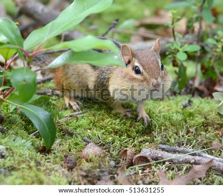 Adorable full cheeked chipmunk hiding out among the leaves
