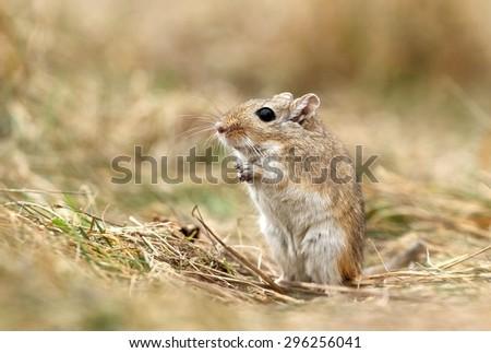 Adorable gerbil - stock photo