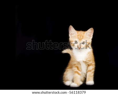 adorable ginger and white kitten on a black studio background - stock photo