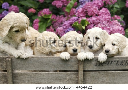 Adorable Golden Labradoodle Puppies