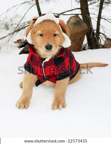 adorable golden retriever in plaid jacket and hat sitting in snow - stock photo