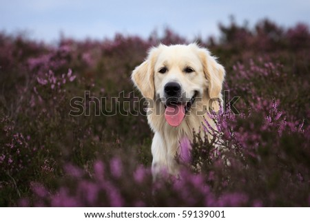 Adorable Golden Retriever in purple moor - stock photo