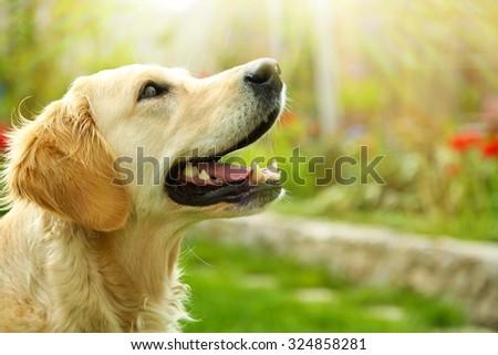 Adorable Golden Retriever on nature background - stock photo