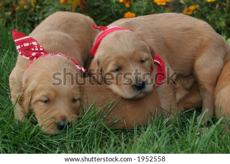 dogs similar to golden retriever stock images royalty free images vectors shutterstock 4327