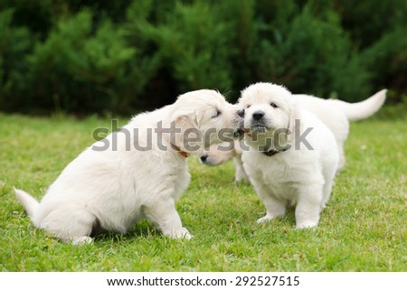 adorable golden retriever puppies kissing  - stock photo