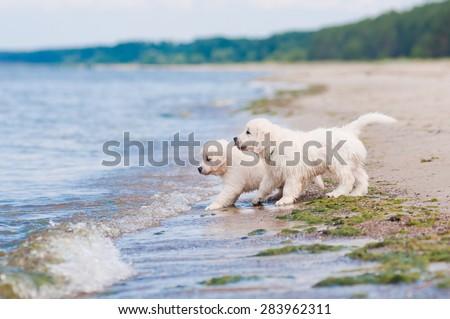 adorable golden retriever puppies on a beach - stock photo
