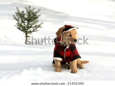 adorable golden retriever puppy in hat and coat sitting on snow near small tree - stock photo