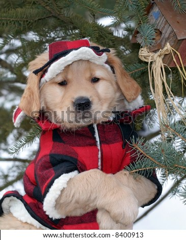 adorable golden retriever puppy in plaid hat and coat - stock photo