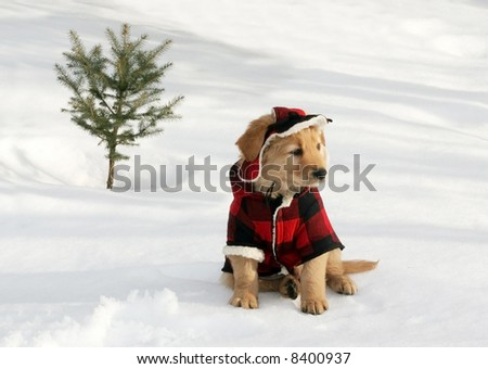 adorable golden retriever puppy in plaid hat and coat sitting on snow near small tree - stock photo