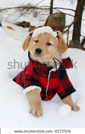 adorable golden retriever puppy in plaid hat and jacket sitting in snow - stock photo
