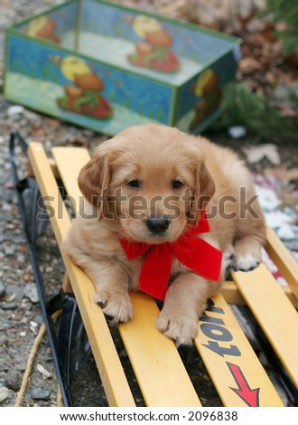 adorable golden retriever puppy laying on sleigh