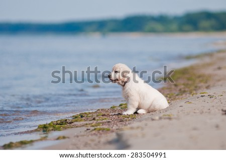 adorable golden retriever puppy on a beach - stock photo