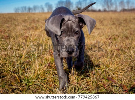 Good Floppy Ears Brown Adorable Dog - stock-photo-adorable-great-dane-puppy-with-floppy-ears-walking-towards-viewer-in-field-779425867  HD_662640  .jpg