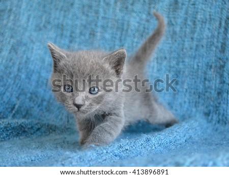 Adorable grey kitten stalking prey  - stock photo