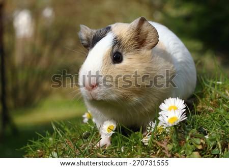 Adorable guinea pig - stock photo