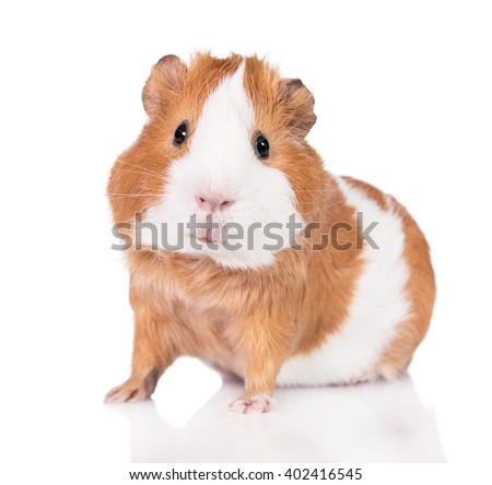 Adorable guinea pig  isolated on white background - stock photo