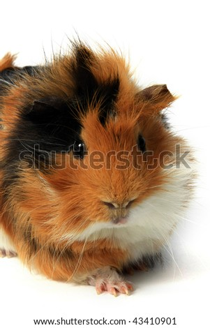 adorable guinea pig pet on a white background