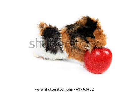 adorable guinea pig pet with apple on a white background