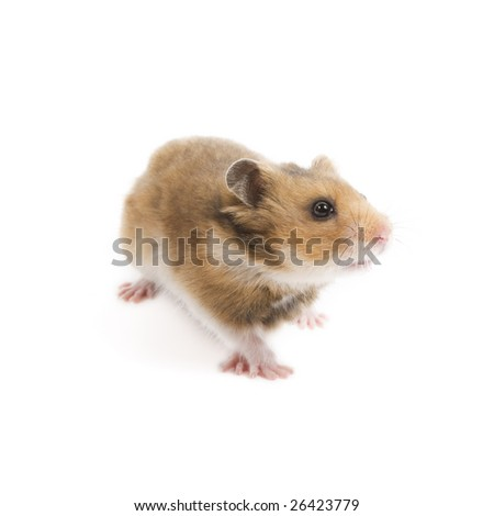 Adorable hamster isolated on a white background