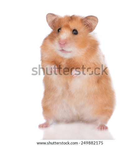 adorable hamster standing on his rear paws - stock photo