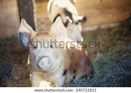Adorable happy berkshire pigs ears up - stock photo