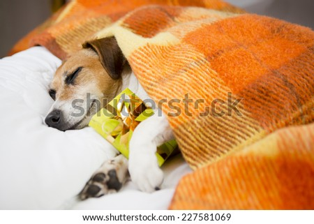 Adorable happy relaxed dog sleeping hugging a present box. The cozy under a blanket on the pillow. In anticipation of the holiday. Do not open until Christmas - stock photo