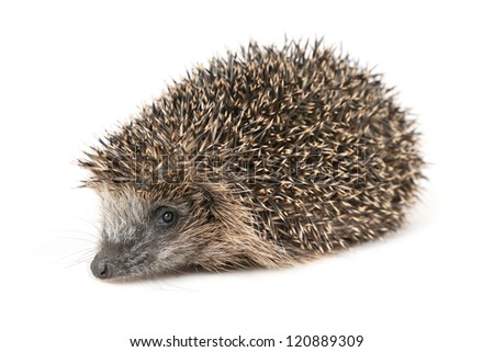 Adorable hedgehog in front of white background