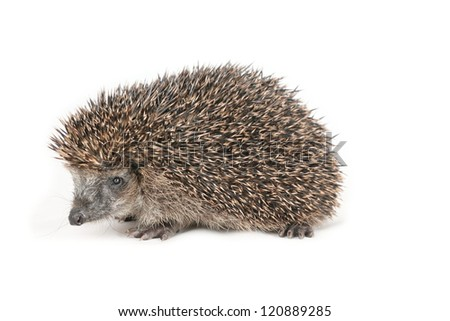 Adorable hedgehog looking to the side