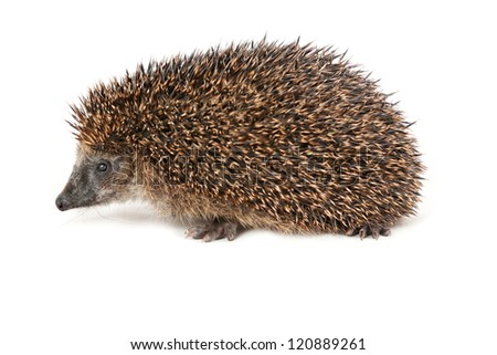 Adorable hedgehog seen from the side