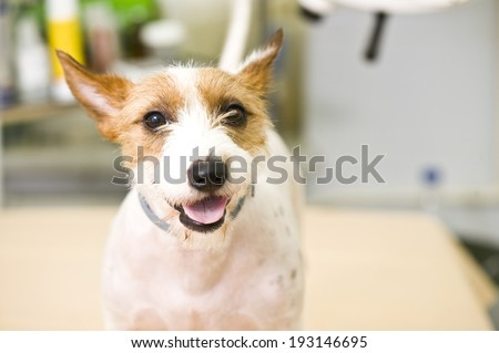 Adorable jack russel terrier in animal hospital - stock photo