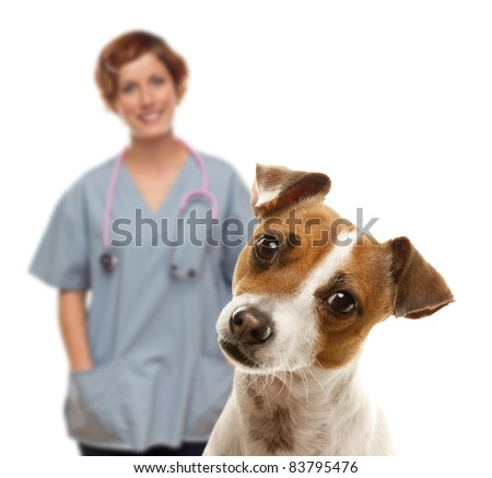 Adorable Jack Russell Terrier and Female Veterinarian Behind Isolated on a White Background. - stock photo