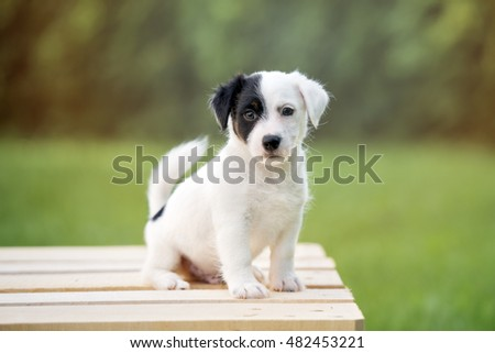 adorable jack russell terrier puppy sitting outdoors