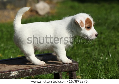 Adorable jack russell terrier puppy standing in the garden