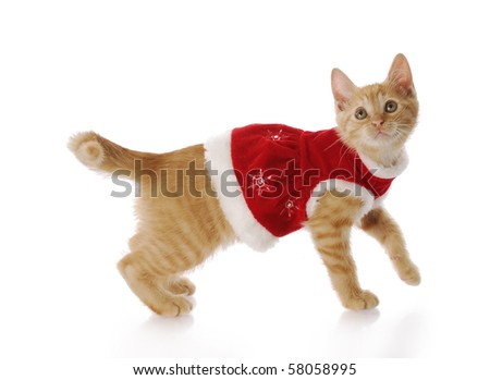 adorable kitten or cat wearing red christmas dress with reflection on white background - stock photo