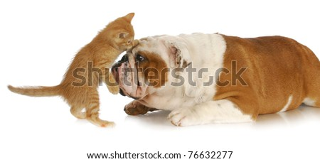 adorable kitten playing with english bulldog with reflection on white background - stock photo