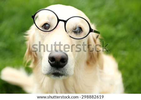 Adorable Labrador in glasses sitting on green grass, outdoors - stock photo