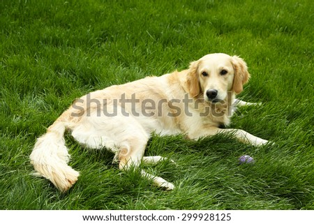 Adorable Labrador lying on green grass, outdoors - stock photo