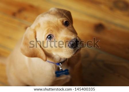 Adorable Labrador Puppy Sitting on Wood Floor - stock photo