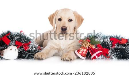 adorable labrador retriever puppy - stock photo