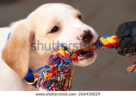 Adorable Labrador retriever puppy playing tug of war with a colorful rope - stock photo