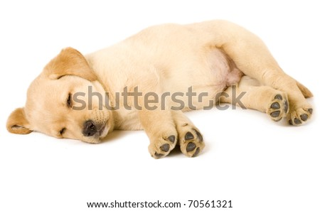 adorable Labrador retriever puppy sleeping on white background